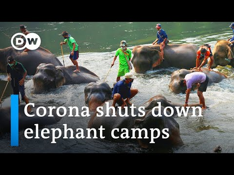 Coronavirus: Thai elephants face starvation as tourism drops   DW News