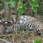 Coronavirus lockdowns increase poaching in Asia, Africa
