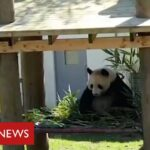 Coronavirus: it's social distancing for the pandas and chimps at Edinburgh Zoo – BBC News