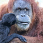Primates at San Diego Zoo receive the COVID-19 vaccine